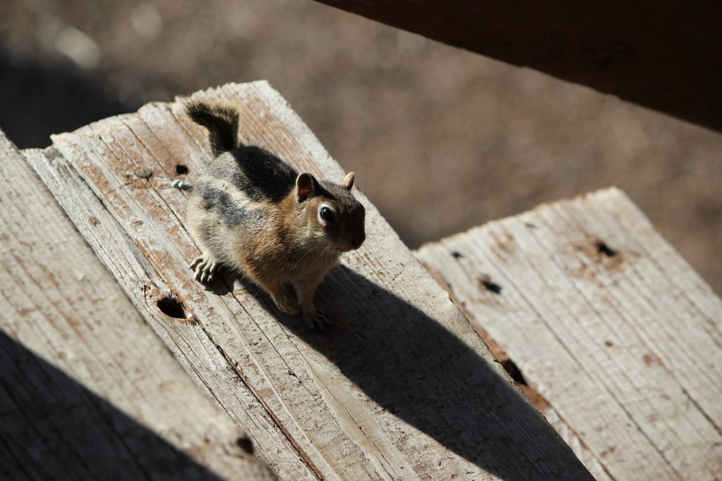 A chipmunk on the steps of the lodge